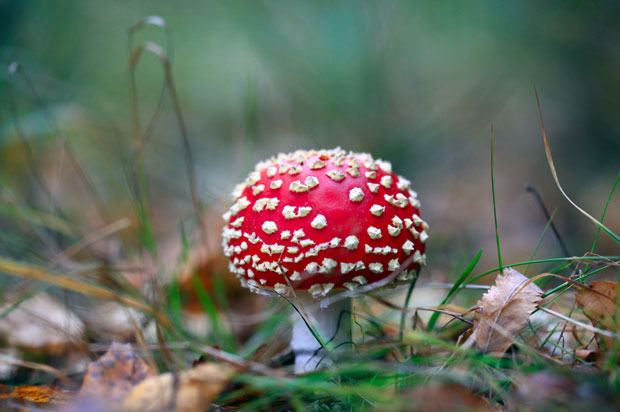 A red, white spotted fly agaric mushroom