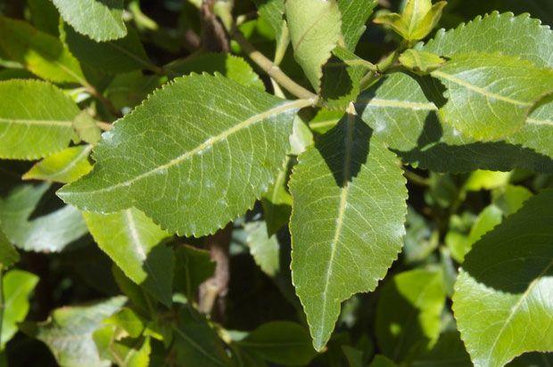 khat leaves