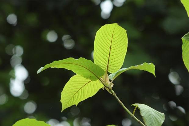 plant krakom