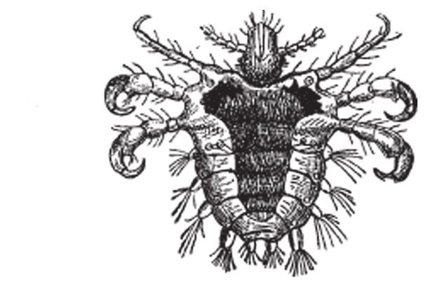 Diagram of pubic lice